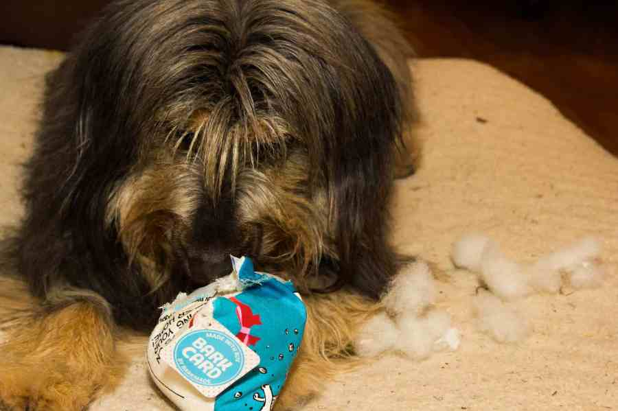 Life as a Swiffer Fanatic, Vol. 2 — Fighting Messes from Other People's Pooches... Because #ShedHappens — Sydney Making Quick Work of Her New Chew Toy