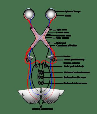 opticnerve