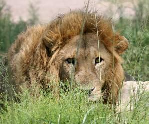 FOCUS like a lion