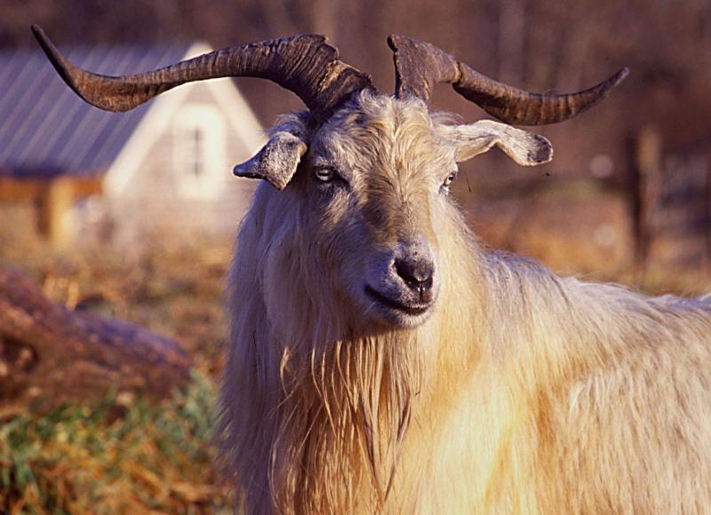Risultati immagini per capra hircus