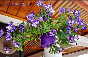 Purple Flowers prettyflowerchallenge garden