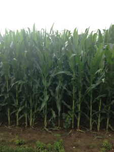 Here is a more close up of the corn along the farm lane.  Nice!