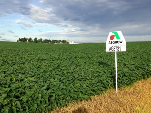As anyone who drives by can now see, our Mailbox field has Asgrow AG3731 soybeans growing in it.   You can see our main farmstead in the background.