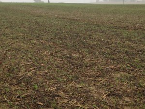 Cover crop wheat is turning the fields green, and protecting the soil.
