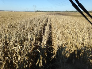 The end of corn harvest really is in sight!  Just a few more feet...