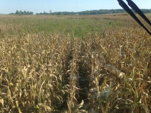 At the far end of the Cox field, we run out of some good-yielding corn into the patch that drowned out.