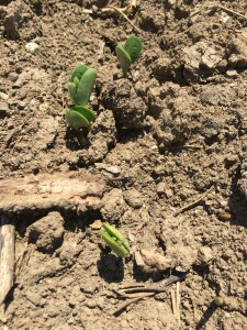 Here's some of what we found this morning: these cotyledons were not visible yesterday!