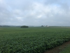 Looking west from the office this morning, the soybeans are appreciating the healthy drink they received over the holiday weekend.