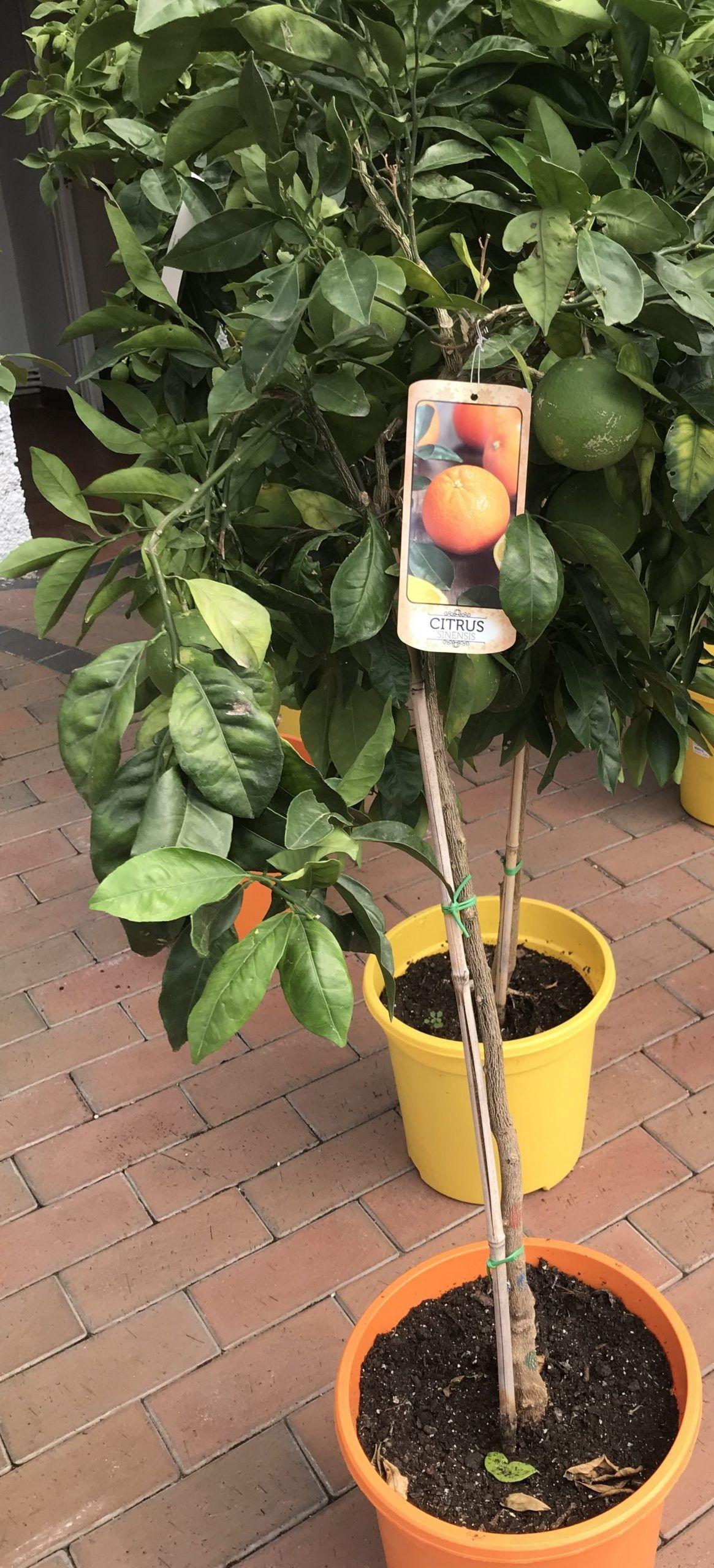 Naranjo Maceta 20 Cm Casla Jardinería