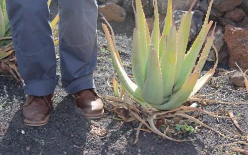 Aloe vor Schnitt