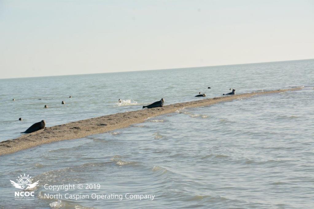 На Северном Каспии реализуется проект по изучению каспийского тюленя