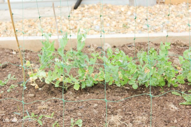 Growing pea plants