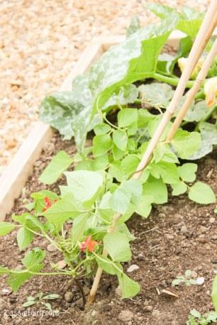 Growing runner bean plant