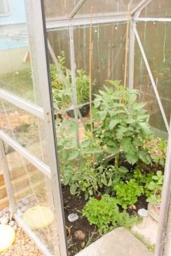 tomato plants in greenhouse_