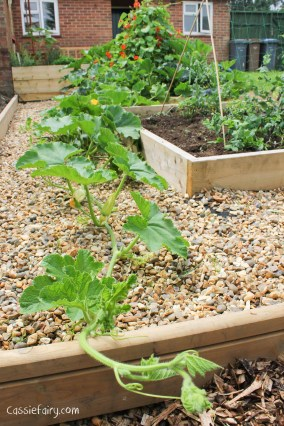 Growing pumpkins and squashes for autumn-2