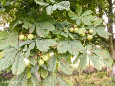 autumn colours - leaves conkers-1