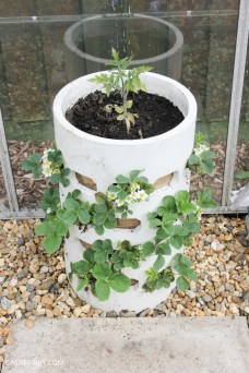 diy homemade strawberry planter greenhouse spring makeover veggie patch-2