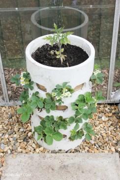 diy homemade strawberry planter greenhouse spring makeover veggie patch-2