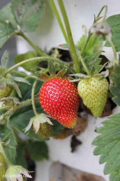 diy gardening grown your own strawberries in greenhouse_-3