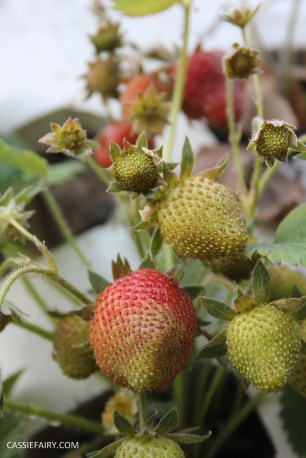 diy gardening grown your own strawberries in greenhouse_-6