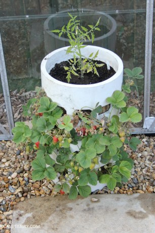 diy gardening grown your own strawberries in greenhouse_-8