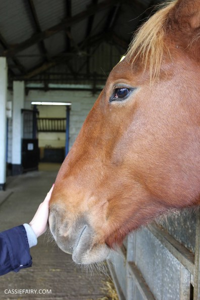 day out at the Suffolk punch trust horse visitor attraction-4