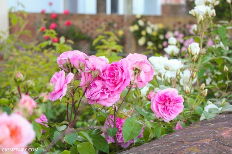 rose bush in a garden