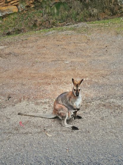 A joey in the pouch of a kangaroo