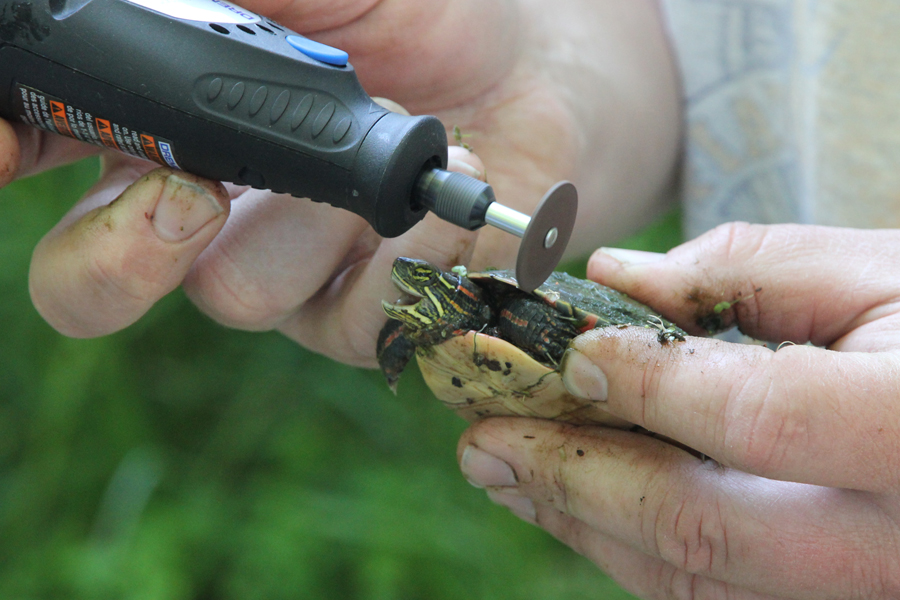notching marginal scute notch painted turtle terrapin dremel marking
