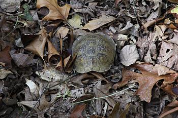 Eastern box turtle shell Missouri