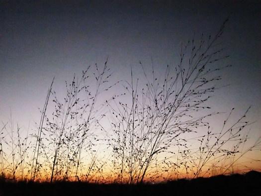 Blackberry Trail Panicum virgatum switchgrass winter silhouette