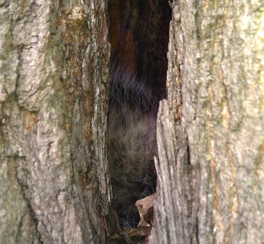 opossum inside mulberry tree morus alba sleeping