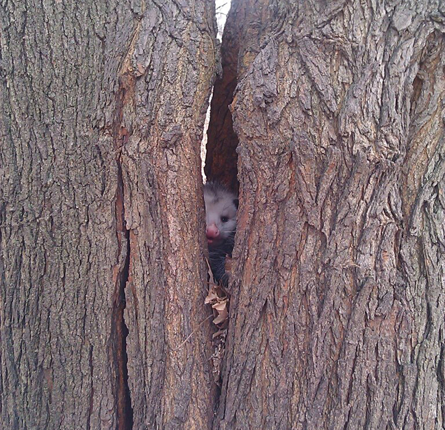 opossum inside mulberry tree morus alba split