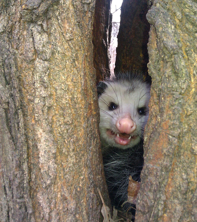 terrifying opossum inside mulberry tree morus alba split