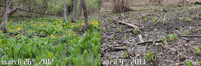 Phenology of Skunk Cabbage and Marsh Marigold