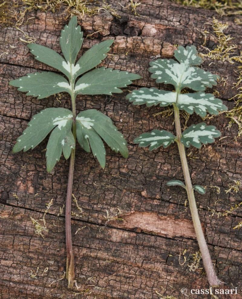 hydrophyllum-virginianum-appendiculatum