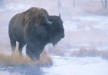 Buffalo 60-10-1