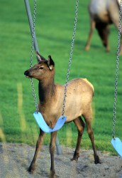 Elk & Swing