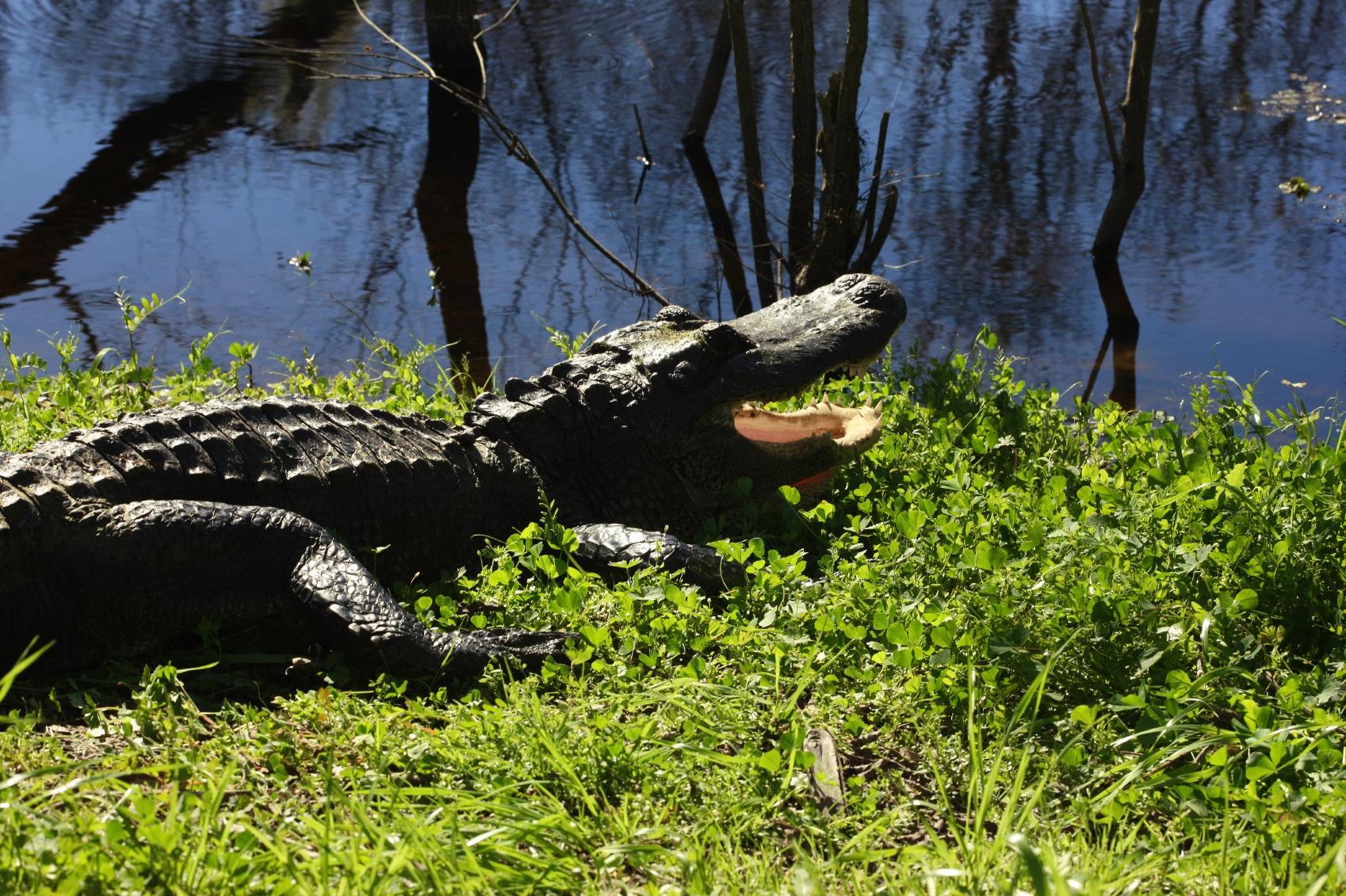 6 Tips To Stay Safe Around Wild Alligators