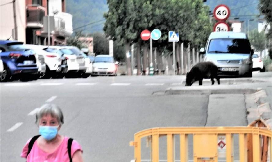 Un porc senglar es passeja per l'avinguda Catalunya.