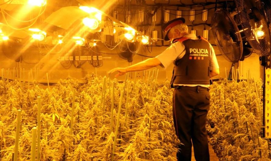 Tres detinguts per cultivar unes 4.000 plantes de marihuana en una nau industrial de Sant Vicenç de Castellet