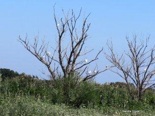 Egrets dotting the trees