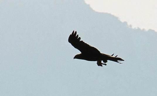 Águila Real - Casteret guías de montaña