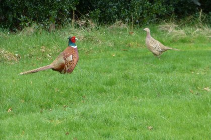 Lauriston 2014 Mar pheasants