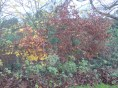 lauriston-2014-nov–leaves