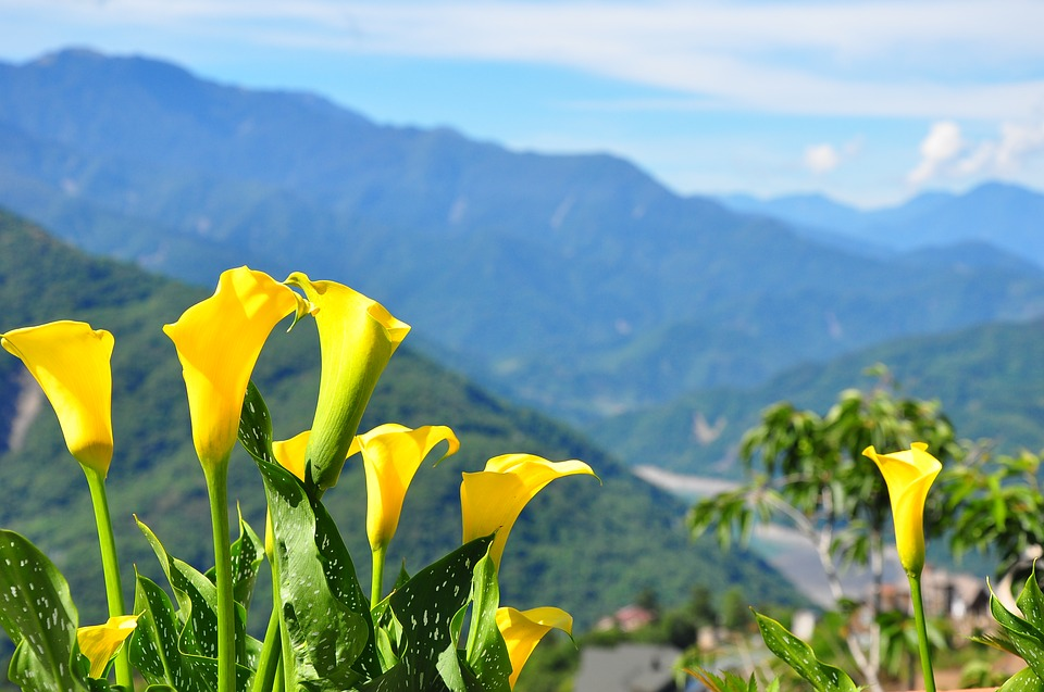 photo of yellow, bell-shaped flowers in front of a blue sky with mountains in the background