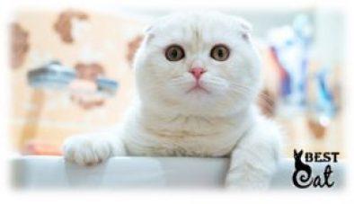 шотландская-кошка-фото