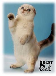 кот-скоттиш-фолд-фото