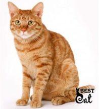 рыжый-кот