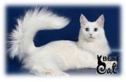 хвост-белого-кото-фото